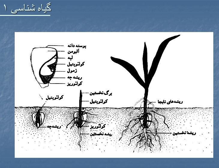 کتاب گیاه شناسی 1 ، جزوه گیاه شناسی 1 پیام نور ppt