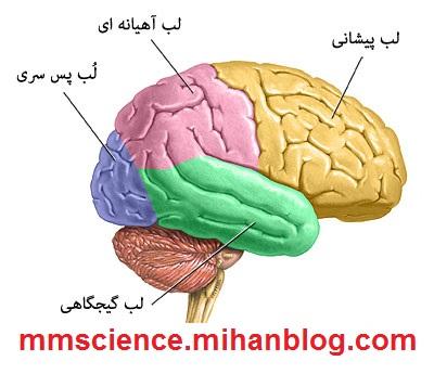 http://s8.picofile.com/file/8268852284/brain_lobes.jpg