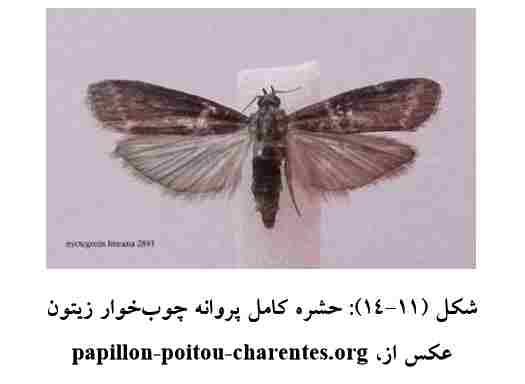 پروانه چوبخوار زیتون