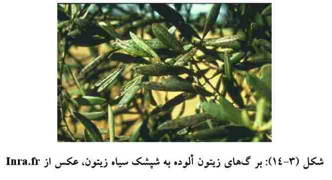 برگهای آلوده زیتون به شپشک سیاه