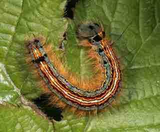 لارو پروانه تخم انگشتری