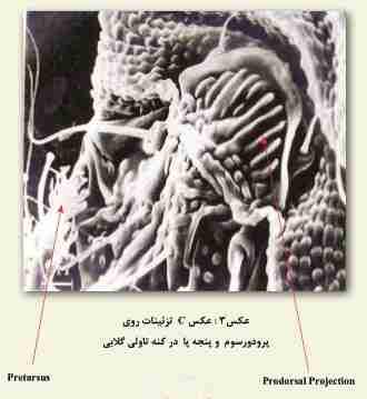 Phytoptus pyri