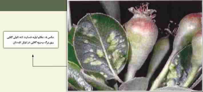 علایم اولیه خسارت روی برگ و میوه