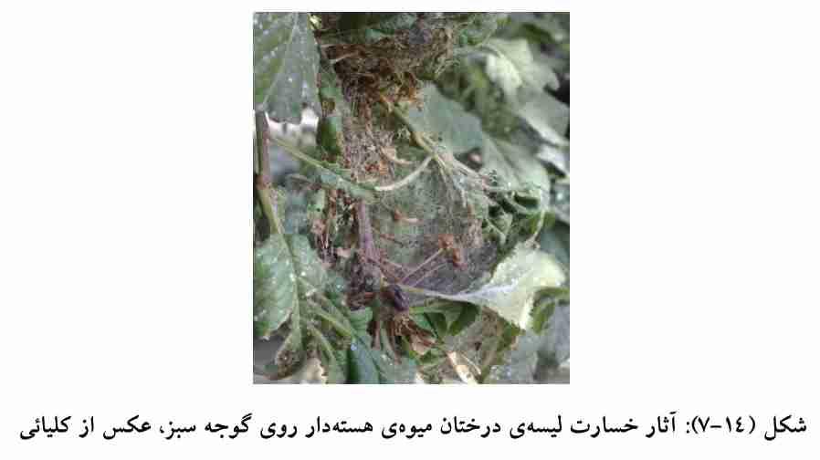 خسارت لیسه درختان میوه هسته دار روی گوجه سبز