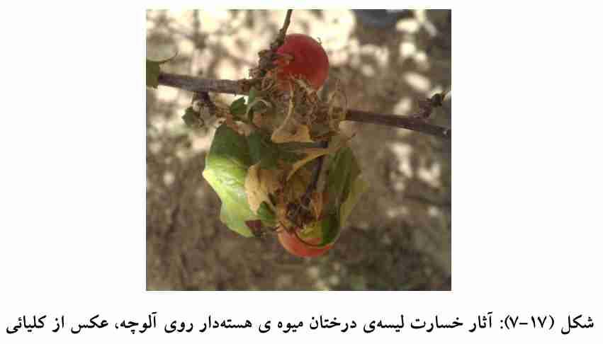 خسارت لیسه درختان میوه هسته دار روی آلوچه