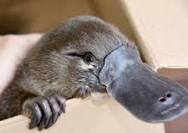 دانلود پاورپوینت اماده پلاتی پوس  Platypus