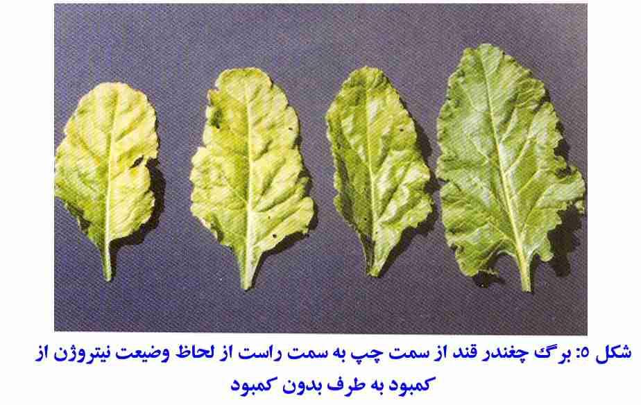 کمبود نیتروژن در برگ چغندر