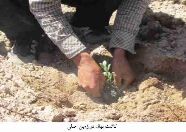 کاشت نهال در زمین اصلی