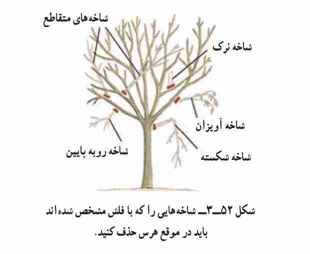 چه شاخه هایی را باید در هنگان هرس حذف کرد