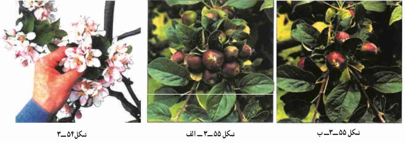 تنک کردن گل و میوه