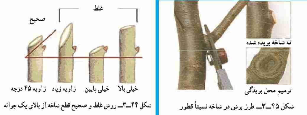 طرز برش صحیح در شاخه ها هنگام هرس