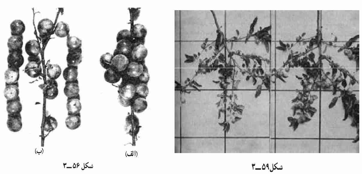 تنک کردن میوه
