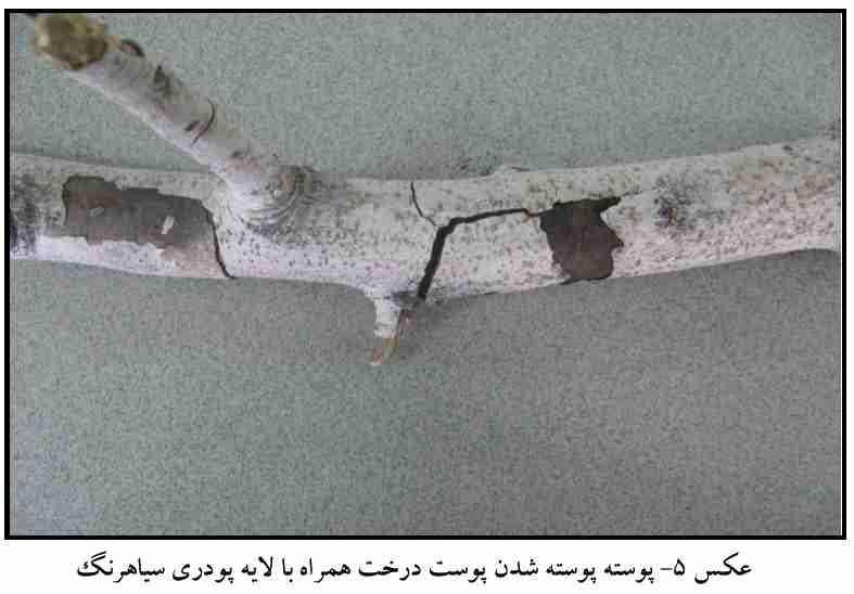 پوسته پوسته شدن درخت به همراه لایه پودری سیاهرنگ