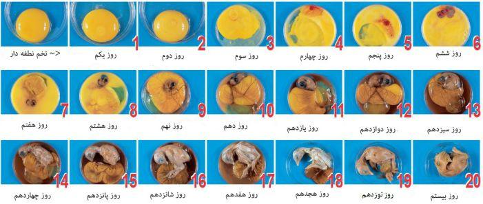 [تصویر: fertilized_egg_level.jpg]