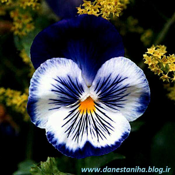 روغن گل بنفشه برای مژه گل بنفشه،روغن گل بنفشه،خواص و ویژگی ها :: دانستنیها