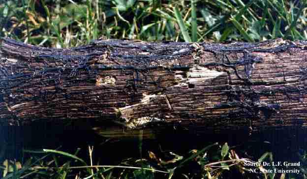 بیماری پوسیدگی قهوه ای ریشه