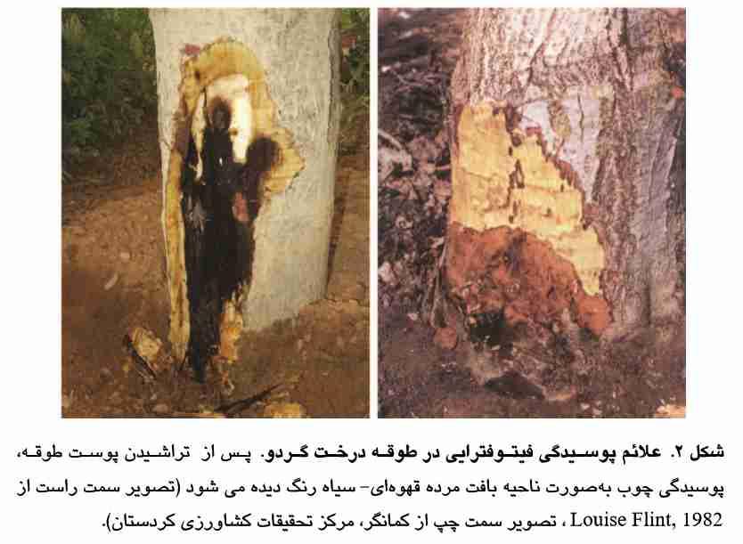 علایم خسارت پوسیدگی فیتوفترایی در درخت گردو