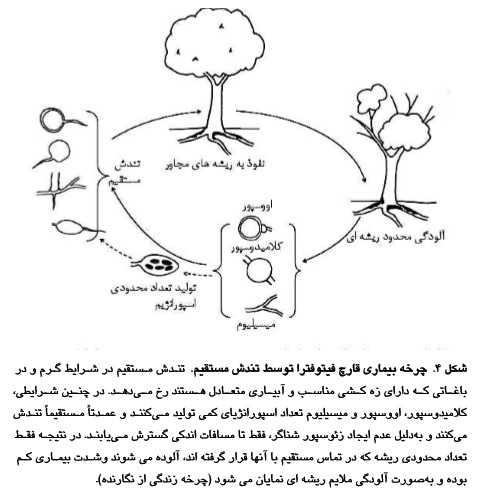 چرخه بیماری قارچ فیتوفترا در تنش مستقیم