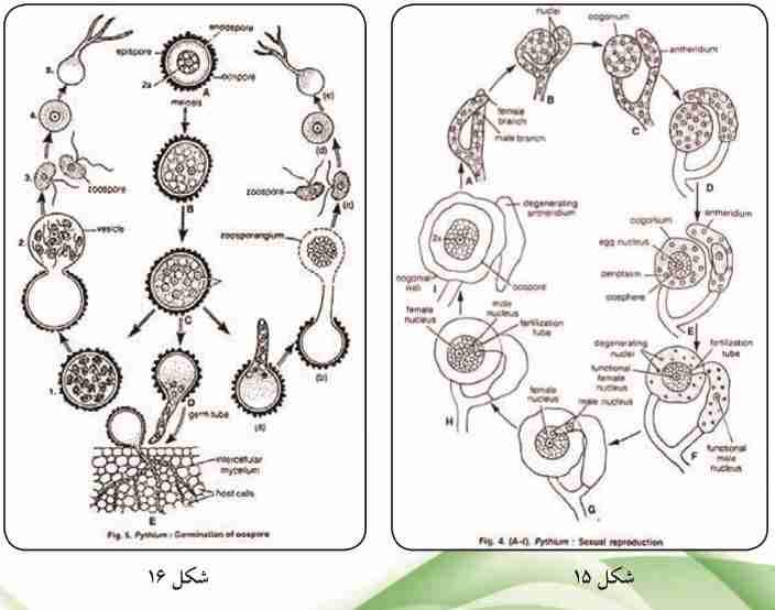 چرخه زندگی قارچ عامل بوته میری