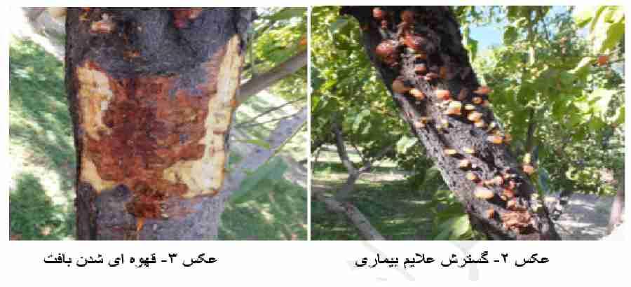 علایم خسارت بیماری شانکر باکتریایی درختان میوه