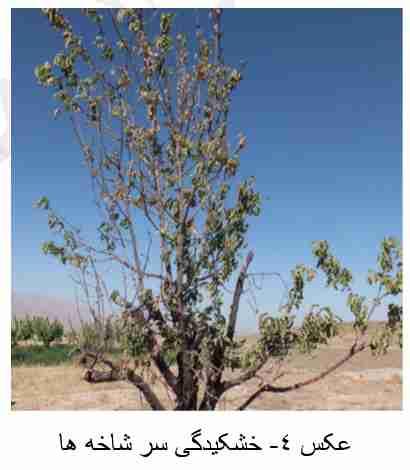 خشکیدگی سر شاخه ها در اثر بیماری شانکر باکتریایی درختان میوه