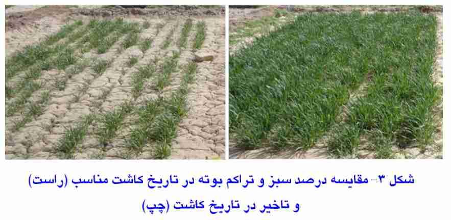 مقایسه درصد سبز شدگی گندم در تاریخ کاشت مناسب و غیر مناسب