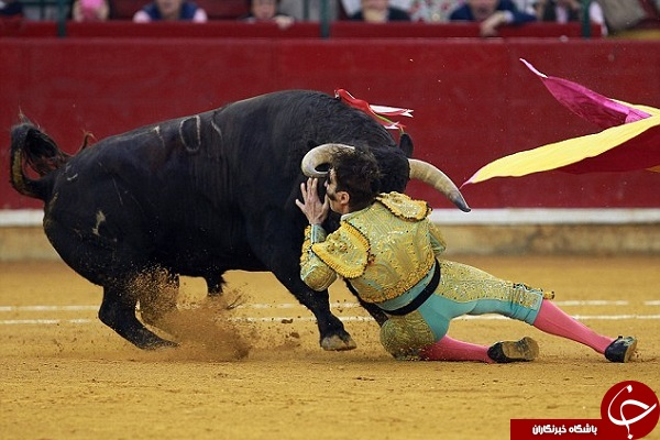 عاقبتی دردناک برای گاو باز اسپانیایی + تصاویر