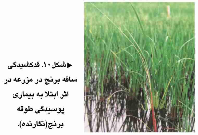 قد کشیدگی ساقه برنج در مزرعه