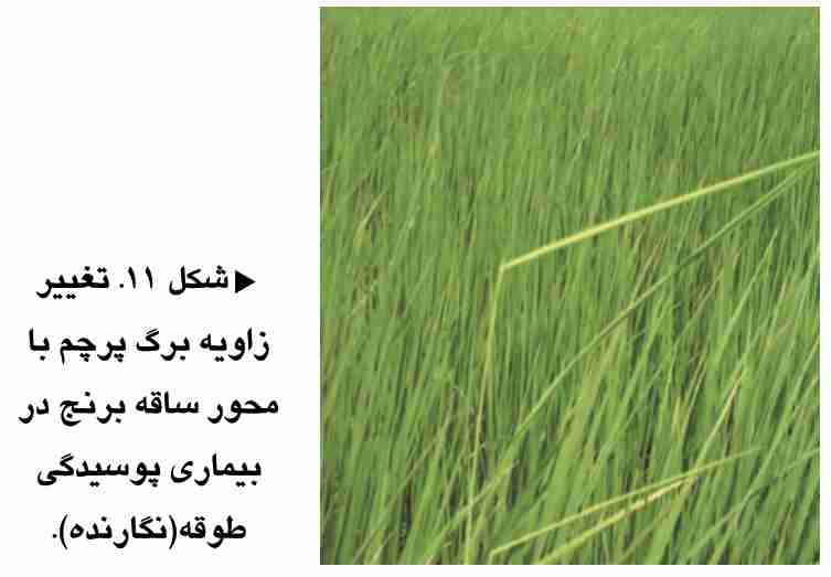تغییر زاویه برگ پرچم نسبت به ساقه برنج در اثر بیماری پوسیدگی طوقه برنج