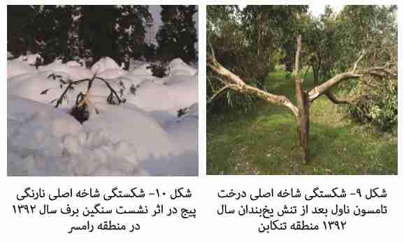 شکستن شاخه های درخت در اثر سمگینی برف