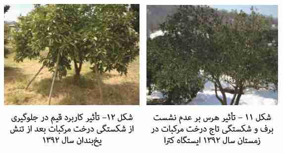 تاثییر هرس و قیم در جلوگیری از شکستن شاخه درختان