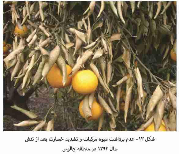 تشدید خسارت یخبندان در اثر برداشت دیر هنگام میوه