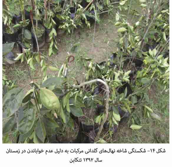 شکستن شاخه نهاب در اثر عدم خواباندن