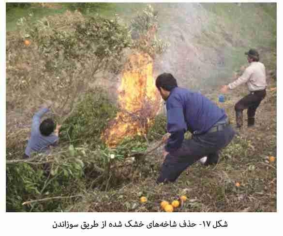 سوزاندن شاخه های خشک شده