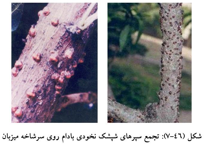Image result for شپشک نخودی درخت بادام