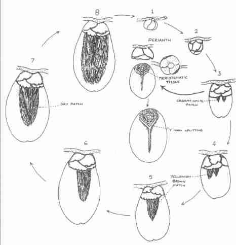 چرخه زندگی کنه جوانه بادام aceria eriophyes = aceria aphloeocoptes nal