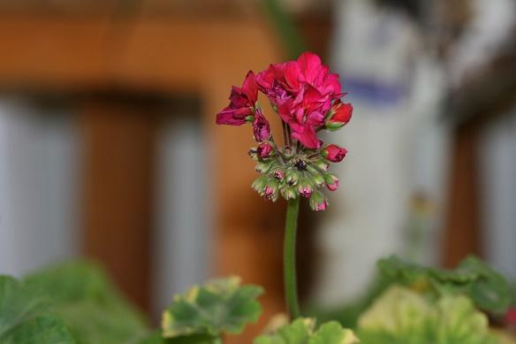 گل شمعدانی...