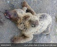 مرگ خرس دیگری در اثر تصادف