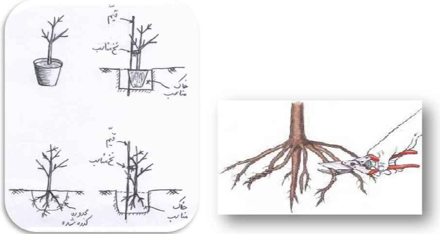 هرس ریشه