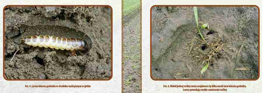 خسارت سوسک سیاه گندم