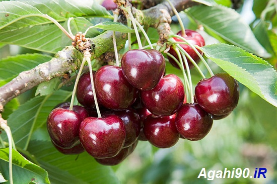 درخت گیلاس : علیمیرزالو : شیرین : درختکان میوه : صادرات میوه
