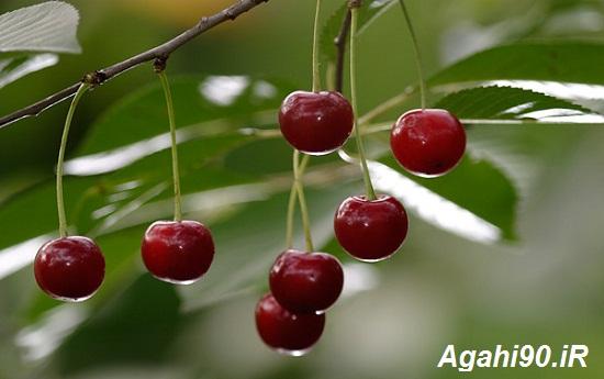 درخت آلبالو : درختان میوه : هرس آلبالو