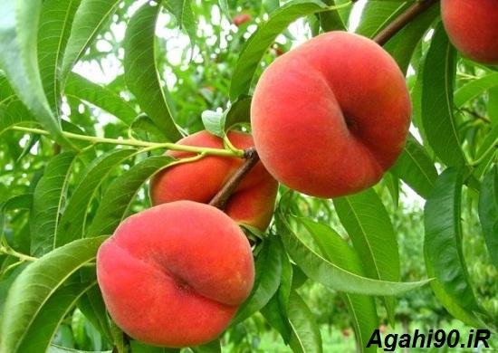 هلو انجیری : نهال هلو انجیری : میوه هلو انجیری