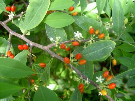برگ و میوه کوکا