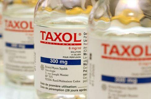 این داروی ضد سرطان از گیاه سرخدار گرفته میشود