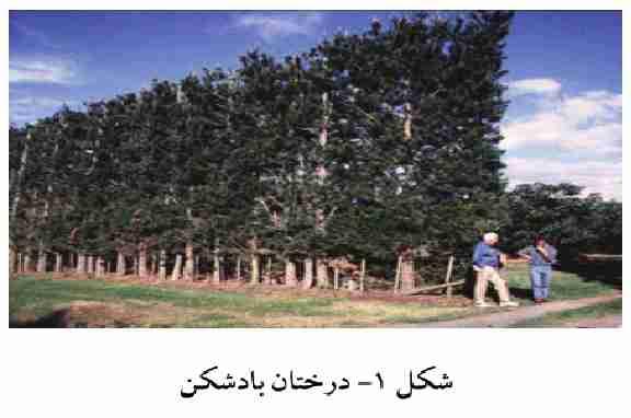 ضرورت ایجاد بادشکن در اطراف باغ آووکادو