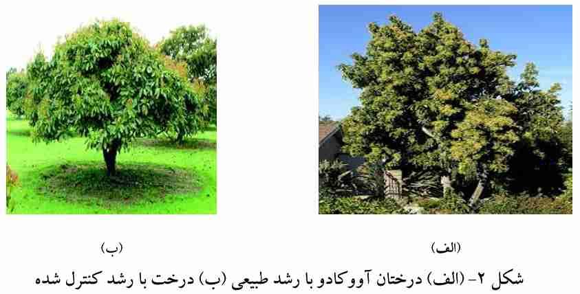 مقایسه درختان تربیت شده و طبیعی آووکادو