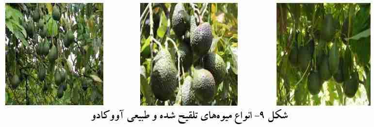 انواع میوه تلقیح شده و طبیعی اووکادو