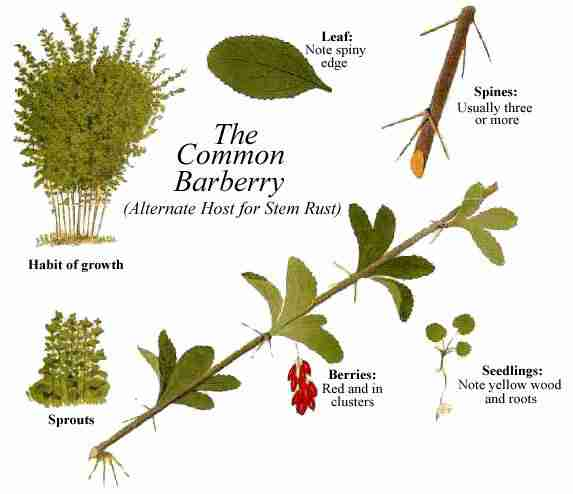 گیاهشناسی زرشک