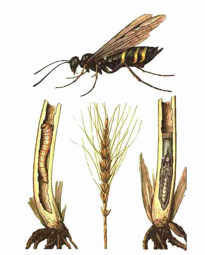 مراحل مختلف زیستی زنبور ساقه خوار گندم